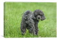 Black Toy Poodle in a field , Canvas Print