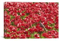 Starling and red poppies at the Tower of London, Canvas Print