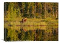 Reflections of a wild brown bear in the lake, Canvas Print