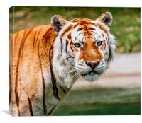 Aging Tiger, Canvas Print