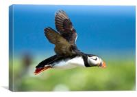 Flying Puffin, Canvas Print