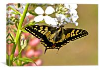 Swallowtail Butterfly , Canvas Print