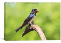 Swallow With Mud, Canvas Print