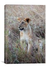 Young Lioness in the Grass, Canvas Print