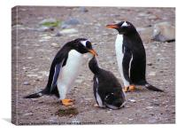 Gentoo Penguin Family Macquarie Island, Canvas Print