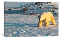 Large Male Polar Bear, Canvas Print