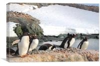Gentoo Penguins In The Rookery, Canvas Print