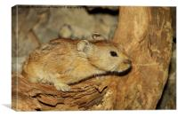 Gerbil in the Wild, Mongolia, Canvas Print