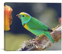 Golden-browed Chlorophonia, Canvas Print