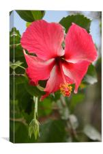 Red Hibiscus, Canvas Print