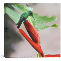 Scaly-breasted Hummingbird, Canvas Print