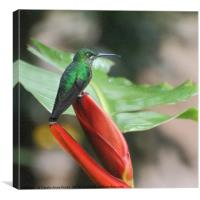 Scaly-breasted Hummingbird , Canvas Print
