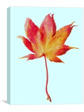 Maple leaf, red and gold, Canvas Print