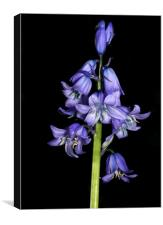 lone bluebell, Canvas Print