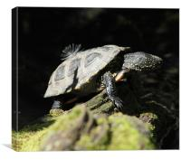 Turtle At Twycross, Canvas Print