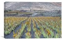 Aloe Vera Plantation, Lanzarote, Canvas Print