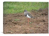 Crowned Plover, Canvas Print