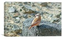 Trumpeter Finch, Canvas Print