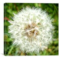 Dandelion Head, Canvas Print