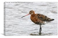 Black-tailed Godwit, Canvas Print