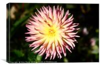 Beautiful Dahlia  , Canvas Print