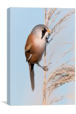 Bearded Tit, Canvas Print