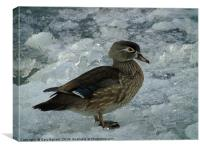 Cold Duck., Canvas Print