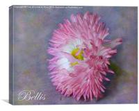 Bellis, Canvas Print