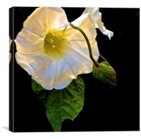 The Morning Glory White Flower, Canvas Print