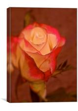 Red and Cream single Rose, Canvas Print