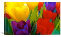 Brightly coloured Tulips                          , Canvas Print