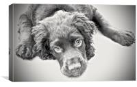 English Cocker Spaniel 15 week old puppy          , Canvas Print