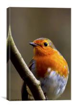 Bright eyed Robin, Canvas Print