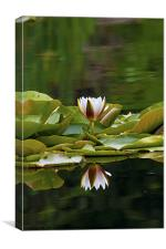 Water Lily reflection, Canvas Print