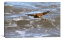 Kestrel hovering (Falco tinnulculus), Canvas Print