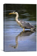 Grey Heron reflected in calm water, Canvas Print