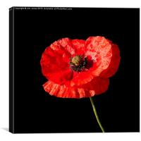Poppy , Canvas Print