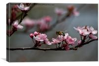 Bee, blossom and promise of spring, Canvas Print