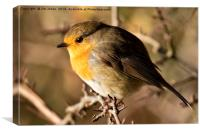 Robin Red Breast, Canvas Print