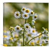 Wild Ox-eye Daisies, Canvas Print