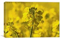 Very Yellow, Canvas Print
