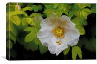 Artistic English Dog Rose, Canvas Print