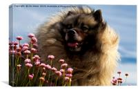 Keeshond portrait, Canvas Print