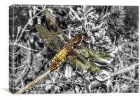 A female broad bodied chaser dragonfly , Canvas Print