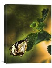 Butterfly on a leaf, Canvas Print