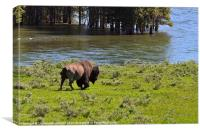 American Bison in Yellowstone, Canvas Print