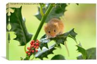 Harvest mouse on Holly at Christmas, Canvas Print