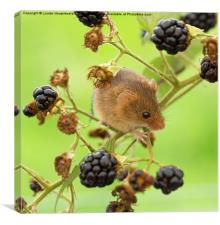 Harvest mouse on a blackberry stem, Canvas Print
