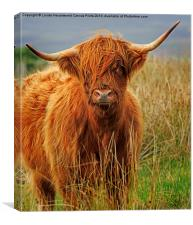 Red Highland Cow, Northumberland, Canvas Print