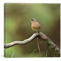 Common Chaffinch, Canvas Print